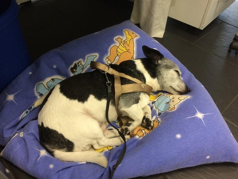 Pflegehelden-Rettung: Jack Russel Terrier Toby auf seinem Kissen im Büro von Hilfe Daheim. Foto: Anna Gatz